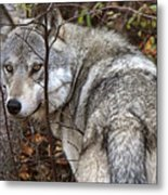 Panoramic Gray Wolf Yukon Metal Print