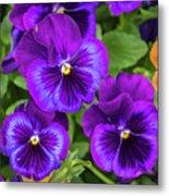 Pansies In Purple And Blue Metal Print