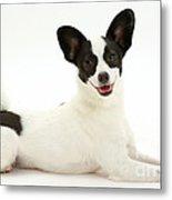 Papillon X Jack Russell Terrier Dog Metal Print