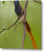 Paradise Flycatcher Metal Print