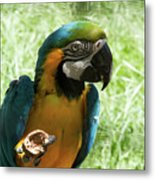 Parrot Eating Nut Metal Print