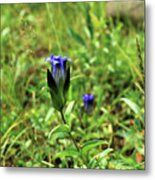 Parry's Mountain Gentian Metal Print