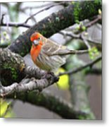 Partial-migrator House Finch Metal Print