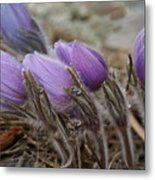 Pasque Flower Watercolor Metal Print