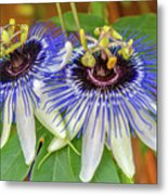 Passion Flower Power Metal Print