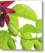 Passion Flower Ver. 9 Metal Print