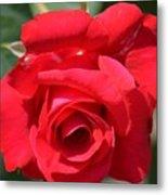 Passion Rose Metal Print