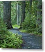 Path Through The Cedars Metal Print