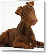 Patterdale Terrier Puppy Metal Print