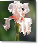 Peach Bearded Iris 2 Metal Print