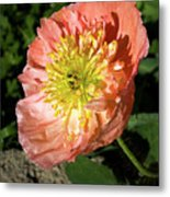 Peach Colored Poppy Metal Print