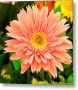 Peach Gerbera Daisy Metal Print