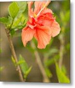 Peach Hibiscus Metal Print