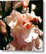 Peach Iris Metal Print