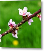 Peach Tree Blossoms Metal Print