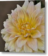 Peaches And Cream Dahlia Metal Print