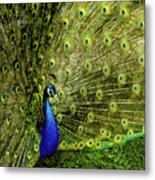 Peacock At Frankenmuth Michigan Metal Print