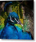 Peacock Closeup Metal Print