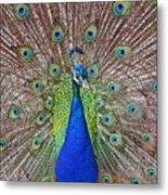 Peacock Displaying His Plumage Metal Print