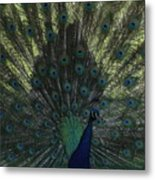 Peacock Eyes Metal Print