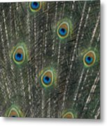 Peacock Feathers Metal Print
