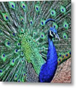 Peacock In A Oak Glen Autumn 2 Metal Print