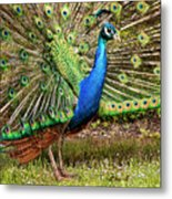 Peacock In Beacon Hill Park Metal Print