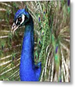 Peacock Mating Season Metal Print