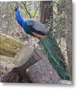 Peacock On Woodpile Metal Print