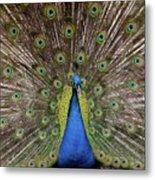 Peacock Plumage Metal Print