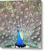 Peacock Show Metal Print