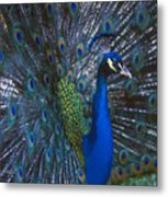 Peacock Splendor Metal Print