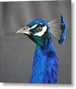 Peacock Stare Down Metal Print