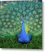 Peacock1 Metal Print