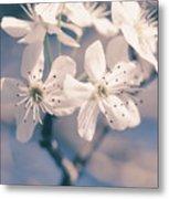 Pear Blossoms 4 Metal Print