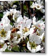 Pear Blossoms And Bee Metal Print