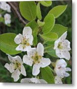 Pear Blossoms In Full Bloom Metal Print
