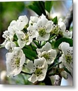 Pear Tree Blossoms 1 Metal Print