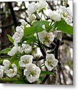 Pear Tree Blossoms 2 Metal Print