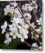 Pear Tree Blossoms IIi Metal Print