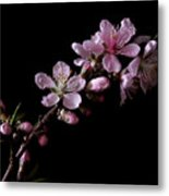 Peach Tree Blossum Metal Print