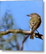 Pearly-vented Tody-tyrant Metal Print