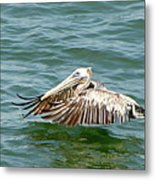 Pelecan In Flight Metal Print