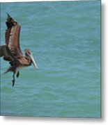 Pelican Contemplating A Water Landing In Aruba Metal Print
