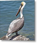 Pelican On Rock Metal Print