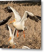 Pelican Takeoff Metal Print