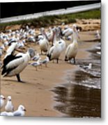 Pelicans At Pearl Beach 1.0 Metal Print