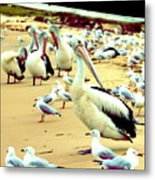 Pelicans At Pearl Beach 4.1 Metal Print