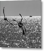 Pelicans Flying By - Black And White Metal Print