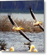 Pelicans In Flight Metal Print